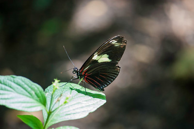 Sideview closeup of black, red and white Longwing butterfly standing on a leaf