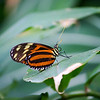 Closeup of orange and black striped Longwing butterfly sitting on a leaf