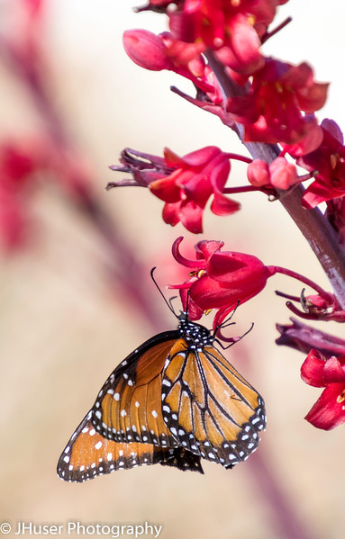 Sideview of black and orange Soldier Monarch on a red flower