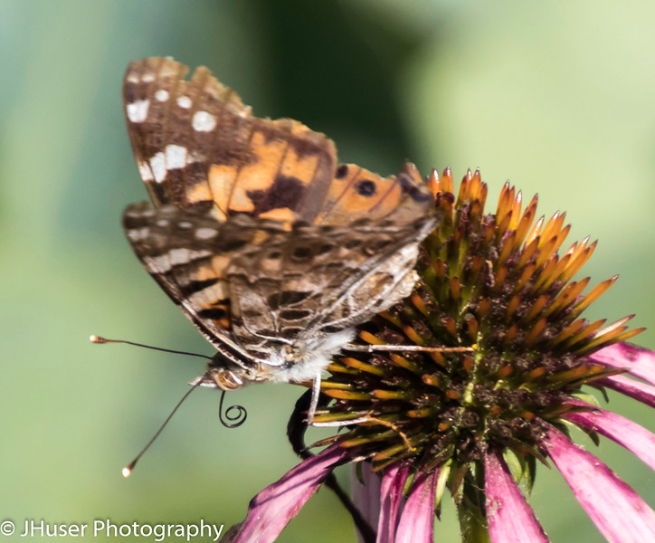 Colorful Painted Lady butterfly showing underside of wings while sitting on pink Coneflower
