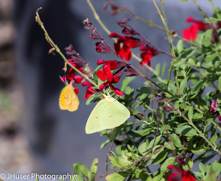 Two yellow Sulphur butterflies on red flowers