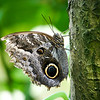 Closeup of Owl butterfly standing on tree trunk