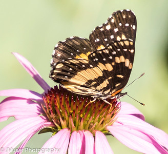 Sideview of black and orange Bordered Patch butterfly sitting on pink Coneflower