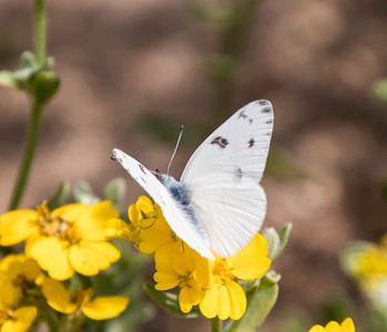 Closeup sideview of a Checkered White Butterfly on yellow flowers