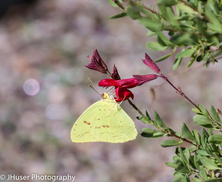 Yellow Cloudless Sulphur butterfly on a red flower