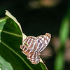 Closeup of brown and blue butterfly sitting on a leaf