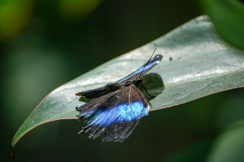 Closeup of Blue and black butterfly on green leaf