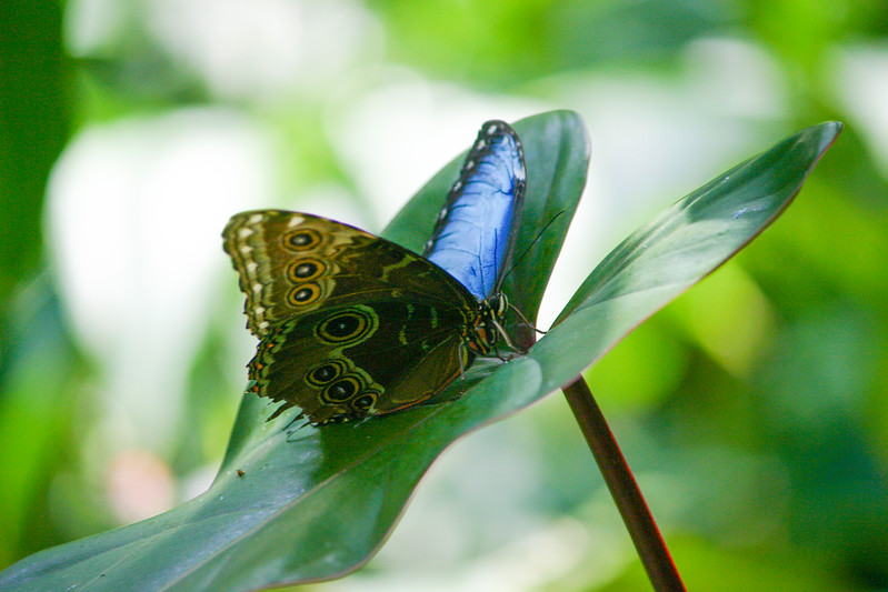 Blue winged butterfly sitting on green leaf