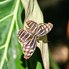 Closeup of brown and blue striped butterfly on leaf