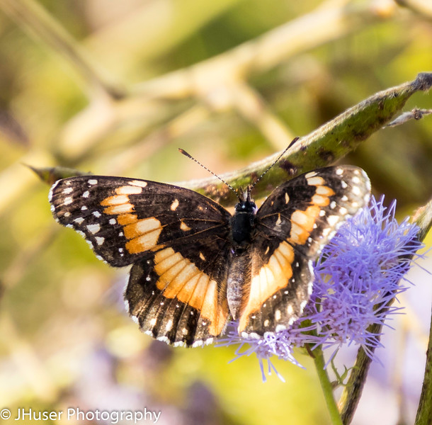 One black and orange banded Bordered Patch butterfly sitting on a purple flower