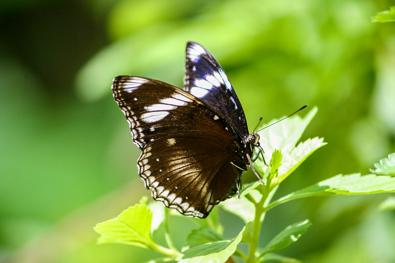 Closeup sideview of a brown and white butterfly