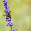 A Clouded Skipper butterfly sitting on a Mealy Blue Sage flower