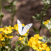 Checkered White butterfly sitting on yellow flowers