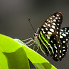 Sideview of Green Triangle Kite Butterfly
