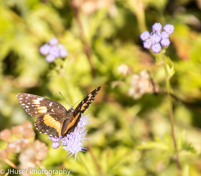 Bordered Patch butterfly sitting on a purple flower