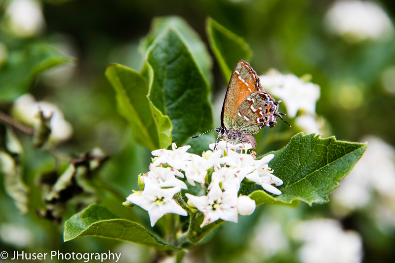 Juniper Hairstreak butterfly on Bluets flowers