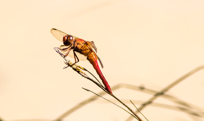 Closeup of Flame Skimmer Dragonfly with plain background