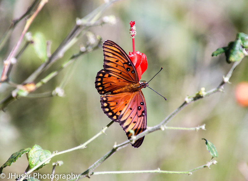 Orange and black Gulf Fritillary on a red Turk's Cap flower