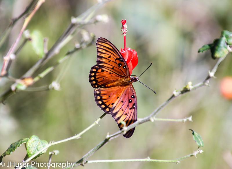 Orange and black Gulf Fritillary on a red Turk's Cap flower