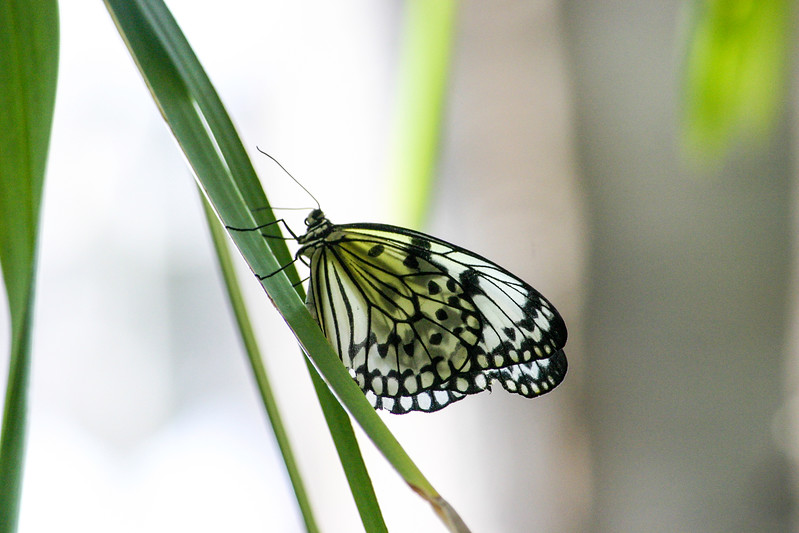 Closeup of a Rice Paper Butterfly on green stalk