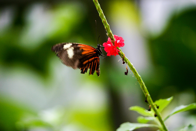 Closeup of orange and black butterfly on a red flower