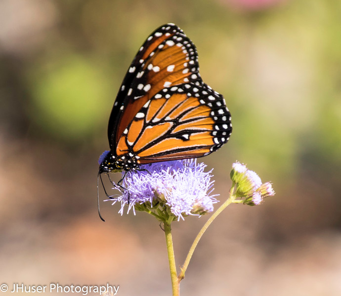 Closeup sideview of single Queen Monarch butterfly feeding on purple flower