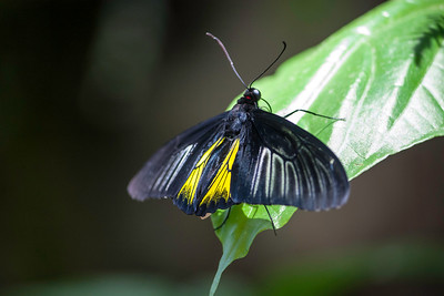 Black and yellow Golden Birdwing Butterfly on a green leaf