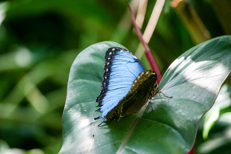 Closeup of iridescent blue winged butterfly sitting on a leaf