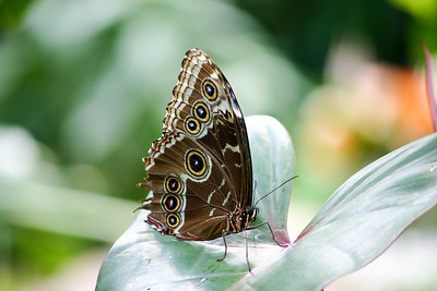 Sideview closeup of Blue Morpho Butterfly