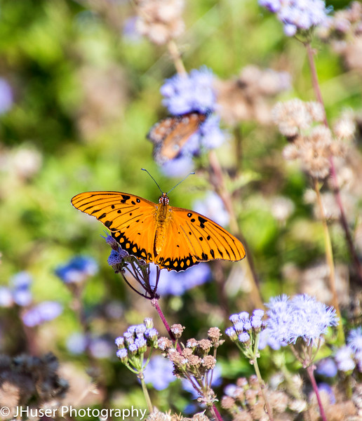 Closeup of one orange and black Gulf Fritillary butterfly on blue flowers