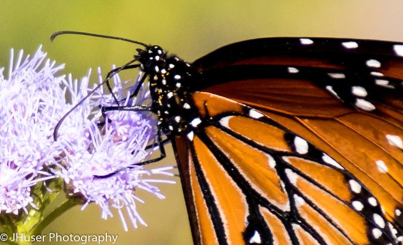 Pollen covered Queen butterfly