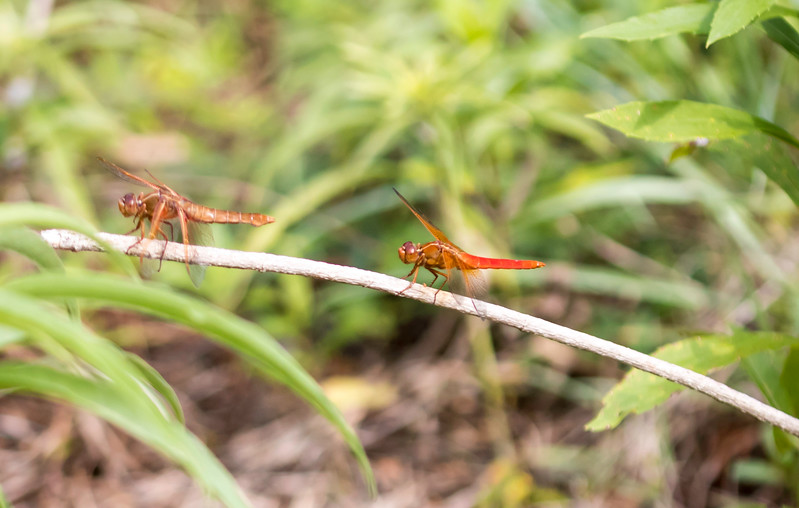 Closeup sideview of a pair of red Flame Skimmer Dragon Fly