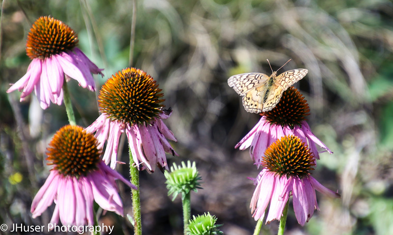 Variegated Fritillary Butterfly sitting on a Cone Flower