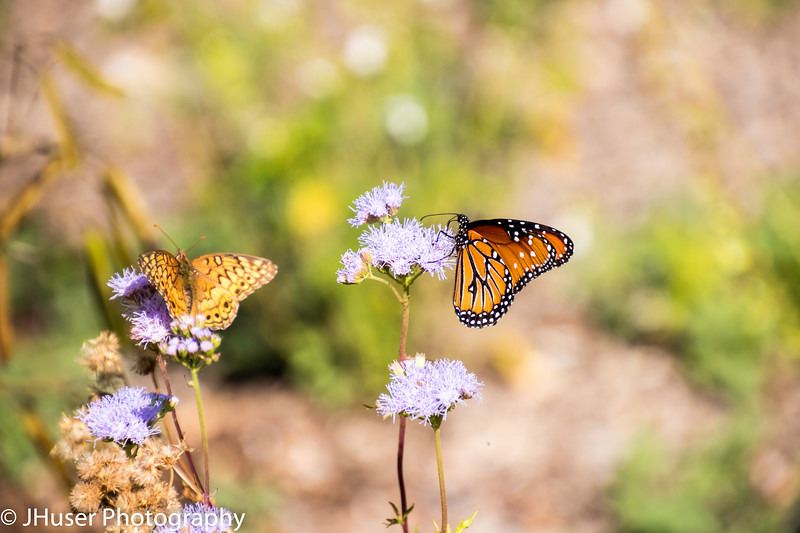 Queen and Variegated Fritillary butterflies on purple flowers