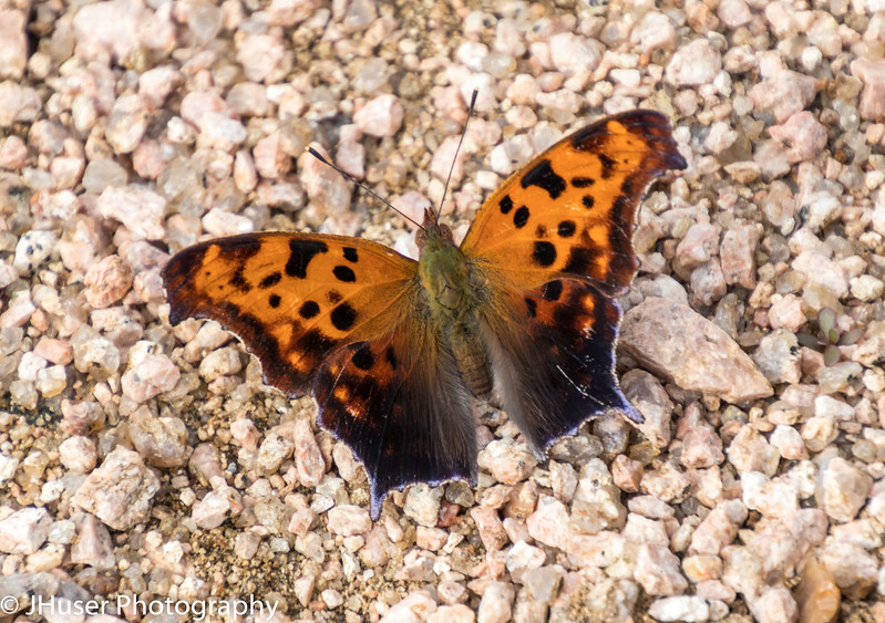 Orange and black Question Mark butterfly sitting on gravel