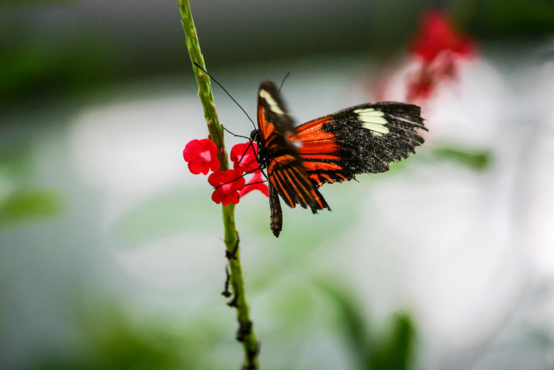 Closeup of orange and black butterfly perched on red flowers