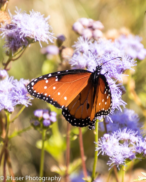 Looking down on orange and black Queen Monarch butterfly sitting on purple flowers
