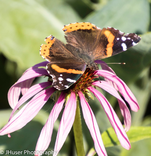 Closeup sideview of black and orange Red Admiral butterfly on pink Coneflower