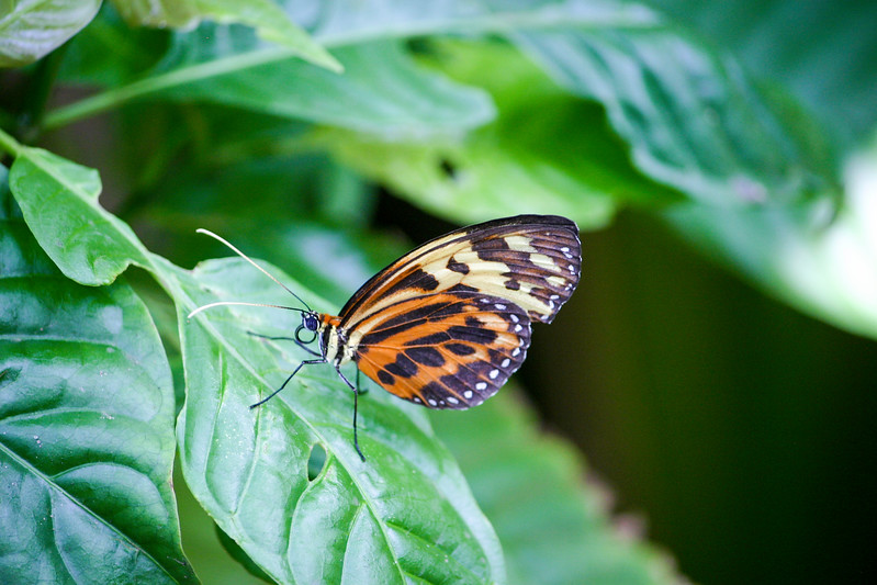 Closeup of yellow, orange and black Longwing butterfly standing on leaf