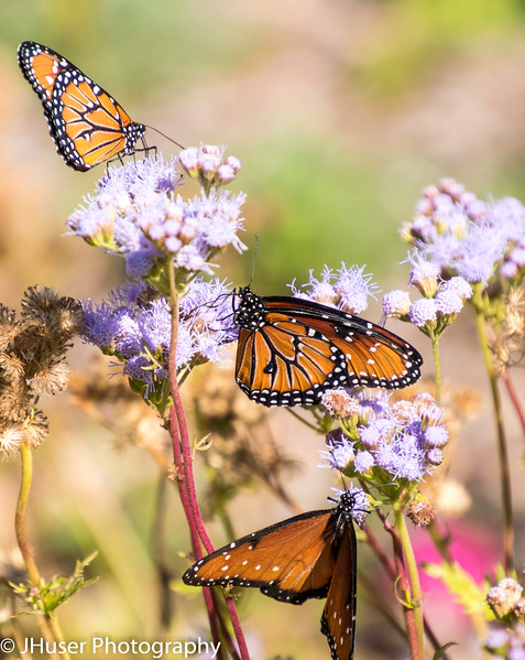 Three orange and black Queen Monarch butterflies sitting on purple flowers