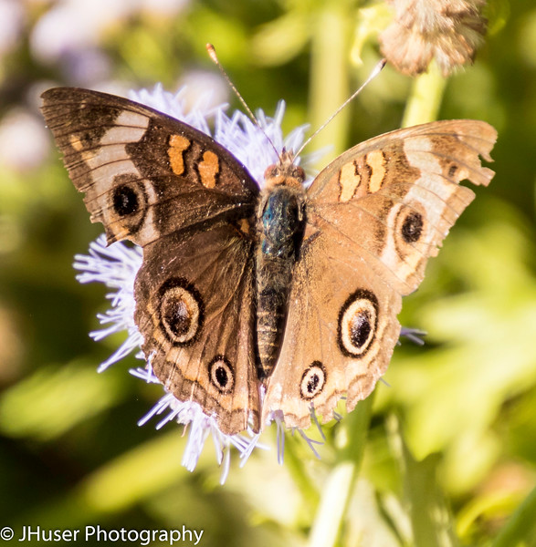 One Common Buckeye butterfly showing colorful eyespots on a purple flower