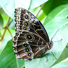Macro of Blue Morpho butterfly sitting on leaf looking at camera