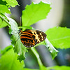 Macro of orange, black and yellow Longwing butterfly standing on leaf