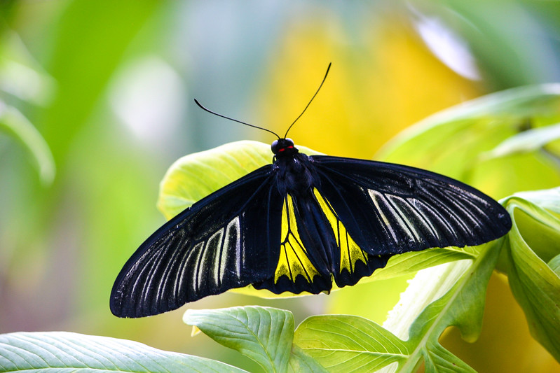 Looking down at yellow, black and white Longwing butterfly