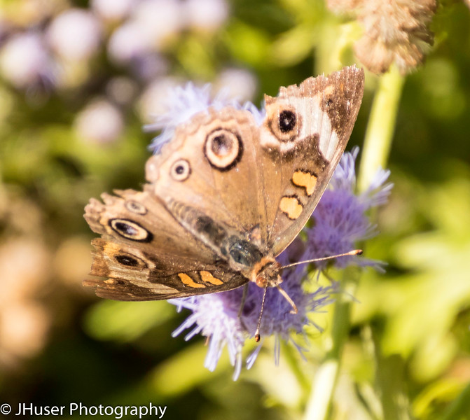 Looking down on Common Buckeye feeding on purple flower