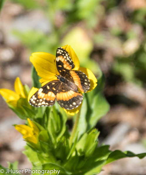 Bordered Patch butterfly on yellow flower