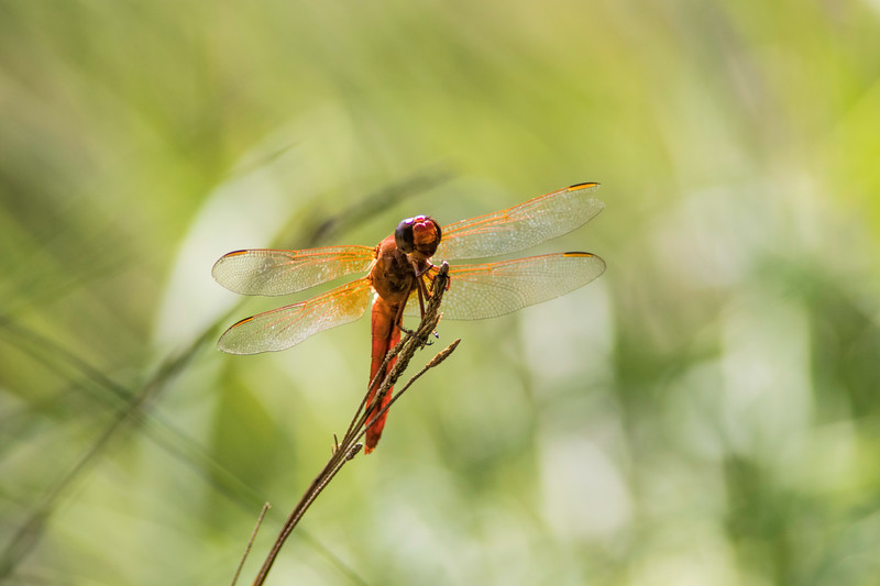 Closeup of Flame Skimmer Dragonfly facing camera