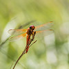Closeup of Flame Skimmer Dragonfly facing camera