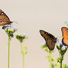 Three Queen Butterflies perched on flowers with tan background