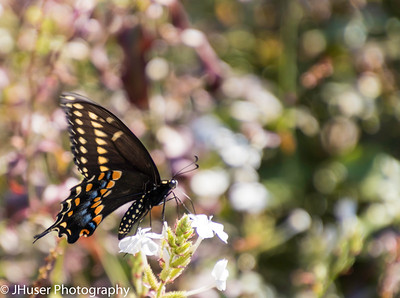 Colorful Pipevine Swallowtail butterfly feeding on white flower